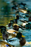 Ducks in a row. Mallard ducks in a row at sunrise Stock Images