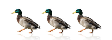 Ducks in a Row. Three Mallard Ducks walking in a row on white background. Getting your ducks in a row is an idiom for becoming organized royalty free stock image