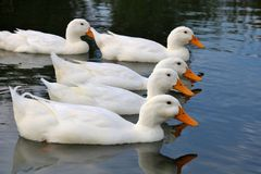 Ducks in a Row. Duck lined up in a lake Stock Image