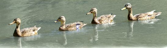 Ducks in a Row. Four female and immature Mallard ducks swim in line Stock Image