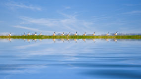 Ducks in a row. Geese linsed up like ducks in a row Stock Photo