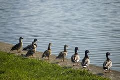 Ducks in row looking across lake Royalty Free Stock Photos