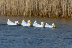 Four white Pekin Ducks in a row swimming across a lake royalty free stock images