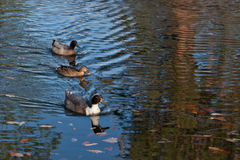 Ducks in a Row. Three differently colored ducks swim in a row on a pond with floating leaves and ripples in the water Royalty Free Stock Photos
