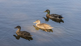 Ducks in a Row. Three ducks swimming early in the morning Royalty Free Stock Image