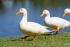 Ducks in a row. Three white ducks walking in a row next to the water Royalty Free Stock Image