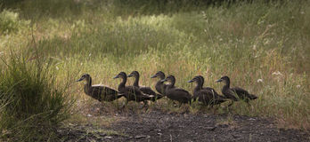 Ducks in a row. 8 ducks walking in a row Royalty Free Stock Image