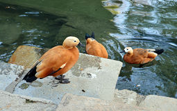 Ducks: Ruddy shelducks (Tadorna ferruginea). Ruddy shelducks on lake in Cismigiu Park, Bucharest, Romania stock photography