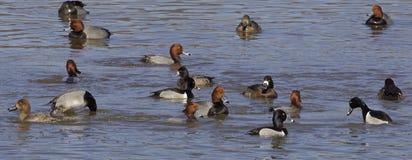 The ducks rush Stock Photography