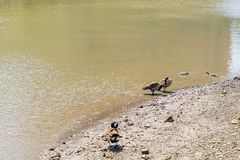 Ducks sailing in Hudson River royalty free stock images