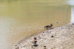 Ducks sailing in Hudson River royalty free stock image