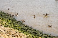 Ducks sailing in Hudson River stock photos