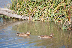 Ducks in Salburua Stock Photo