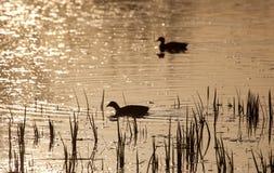Ducks in Salburua Royalty Free Stock Photography