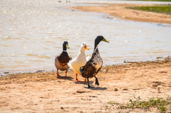 Ducks on sand near lake Royalty Free Stock Images
