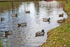Ducks, scientific name, anatidae Stock Images