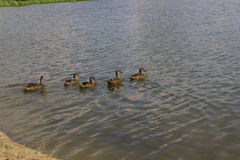 Ducks in a sea Royalty Free Stock Image