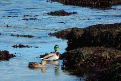Ducks in the sea in a sunny day royalty free stock photo