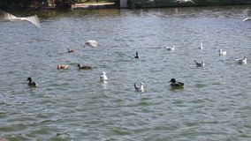 Ducks and seagulls stock video