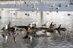 Ducks and seagulls - RAW format Royalty Free Stock Photo