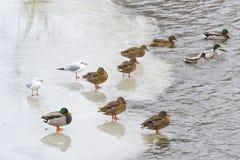Ducks and seagulls on the ice Stock Photo
