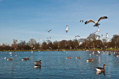 Ducks and Seagulls in Kensington Gardens Stock Photo