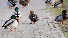 Ducks and seagulls in the nature stock video footage