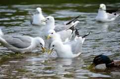 Ducks and seagulls in summer looking for food Royalty Free Stock Image