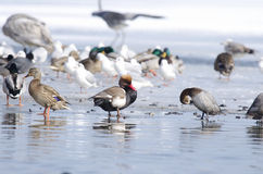 Ducks and seaguls. On the lake Stock Images