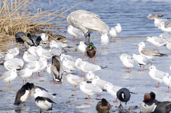 Ducks and seaguls Royalty Free Stock Image