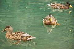 Ducks Stock Photos
