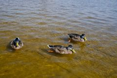Ducks in shallow water Royalty Free Stock Photo