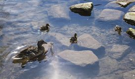 Ducks and shiny waters, Bakewell, England. This image shows a lake with some ducks. It was taken in Bakewell, England. It was taken in April 2018 Stock Image