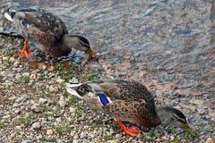 Ducks on shore of Estes Park Lake near Rocky Mountain National Park in Colorado. USA Stock Photo