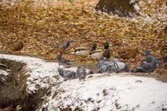 Ducks on the shore of the pond in the autumn. Cold and snow.  Royalty Free Stock Photo