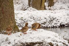 Ducks on the shore of the pond in the autumn. Cold and snow Royalty Free Stock Photo