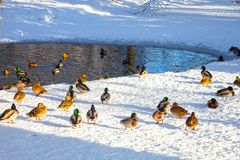 Ducks in park Stock Images
