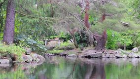 Ducks on shore under trees. Flock of ducks on the edge of a forested shore of a lake stock video