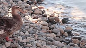 Ducks at the side of the lake. Two ducks at the side of the lake stock footage