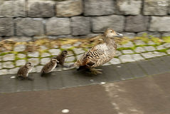 Ducks on Sidewalk Stock Photos