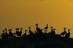 Ducks silhoettes. Wild ducks at sunset stock images