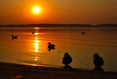 Ducks silhouette Royalty Free Stock Images
