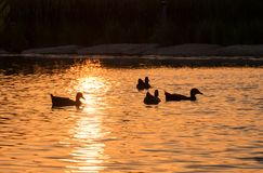 Ducks silhouette on child amusement park pond at sunset. Ducks silhouette on childs park pond at sunset royalty free stock photos