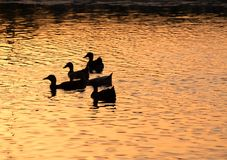 Ducks silhouette on child amusement park pond at sunset. Ducks silhouette on childs park pond at sunset stock photo