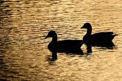 Ducks in silhouette in evening light. Ducks in silhouette in evening light on fresh water pond in UK Royalty Free Stock Image
