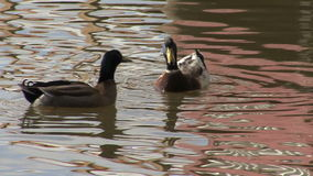 Ducks on silver lake reflections stock footage