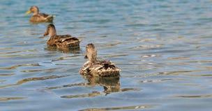 Ducks in single file Stock Photos