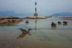 Ducks at the Sirmione coast. In Italy Stock Images