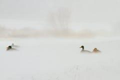 Ducks sitting in blizzard Royalty Free Stock Photos
