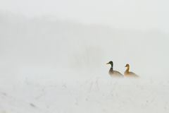 Ducks sitting in blizzard Royalty Free Stock Image